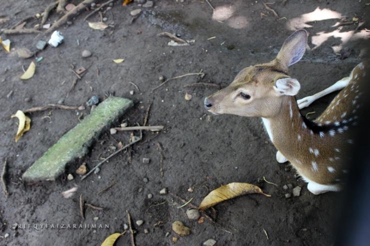Seekor rusa sedang istirahat berteduh, tak acuh dengan sorot mata manusia yang melihat polahnya dari balik pagar