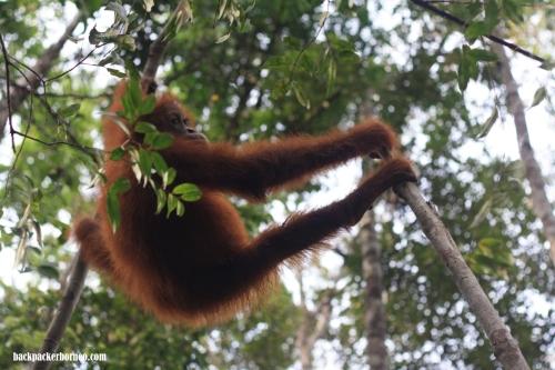 Orangutan di Taman Nasional Tanjung Puting, Kalimantan Tengah (Foto oleh Indra Setiawan-Backpacker Borneo)