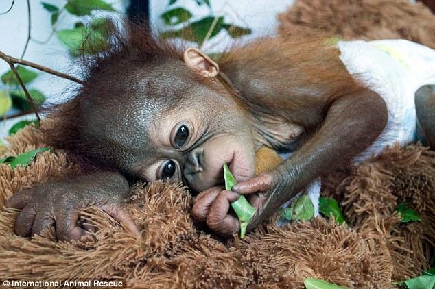 Asoka, bayi orangutan yang ditemukan warga lokal di hutan hujan Ketapang. Kini dalam perlindungan International Animal Rescue (IAR) di pusat rehabilitasi di Ketapang, Kalimantan Barat