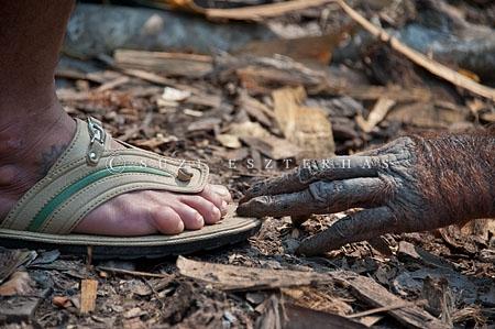 Orangutan Borneo (Pongo pygmaeus) menyentuh alas kaki seorang ranger dengan ujung jari di Taman Nasional Tanjung Puting