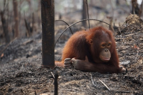 Orangutan dan kebakaran hutan (Foto oleh Borneo Orangutan Survival Foundation)