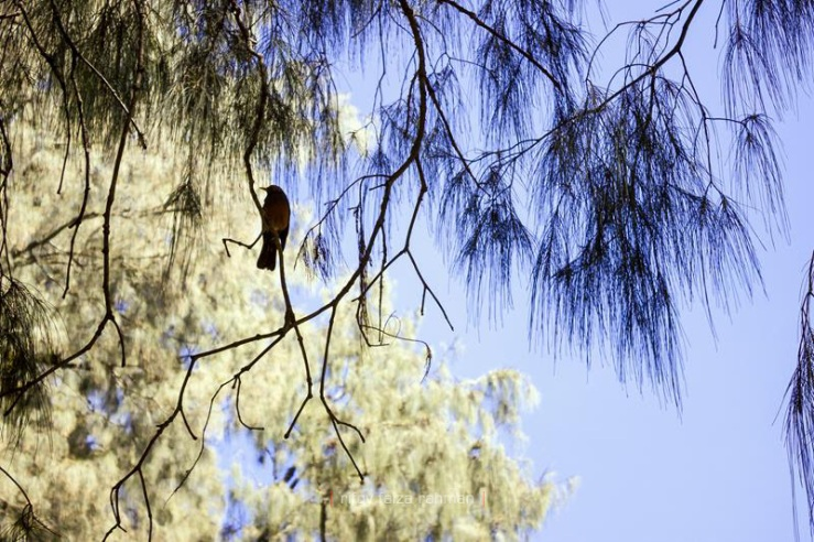 Siluet burung sejenis sepah gunung bertengger di antara ranting pohon cemara gunung di Kalimati