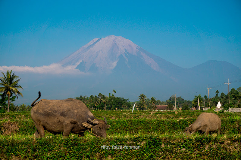 Kerbau yang merumput di lahan pertanian milik warga di Candipuro, Lumajang, berlatar Gunung Semeru. Keberadaan gunung berapi di daerah ini membuat lahan pertanian sangat subur