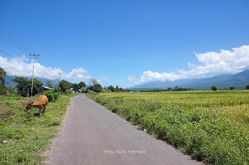 Lahan padi yang subur dibelah jalan beraspal di kecamatan Satar Mese, Kabupaten Manggarai, Nusa Tenggara Timur.