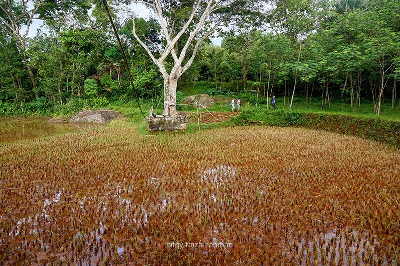 Tlogo Guyangan, telaga yang sudah menjadi persawahan. Di dekat pohon besar itu, terdapat sumur mata air yang menghidupi masyarakat Kampung Pitu.