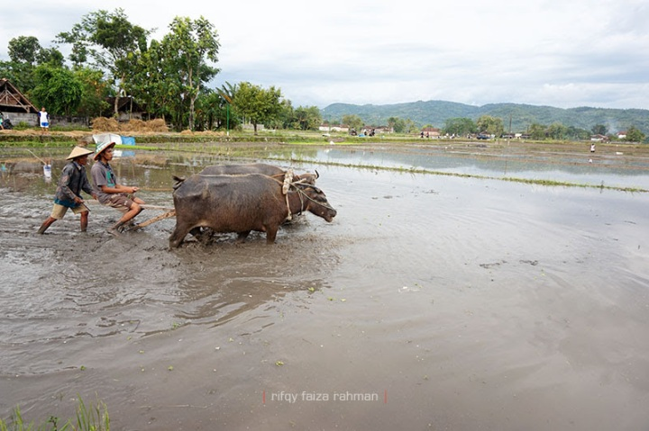 Sitam mencoba membajak sawah secara tradisional
