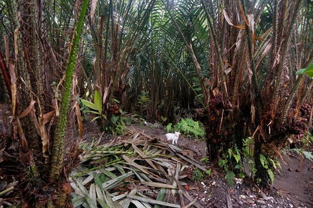 Regenerasi pohon adalah cara terbaik meningkatkan produktivitas salak setelah dilarangnya perluasan lahan oleh pemerintah setempat