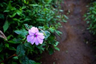 Senggani, sejenis tumbuhan perdu yang banyak ditemukan di jalur Suwanting