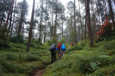 Hutan pinus adalah vegetasi yang tumbuh sepanjang gapura pendakian sampai di atas Lembah Gosong