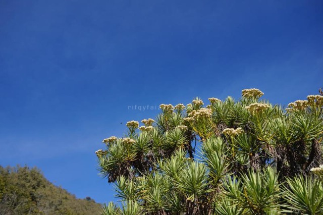 Edelweiss di Gunung Butak